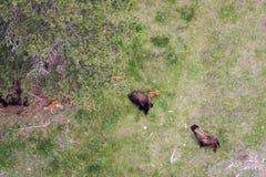 Flyg- sikt av en buffelflock fotografering för bildbyråer