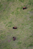 Flyg- sikt av en buffelflock royaltyfri bild