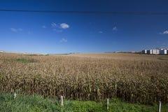 Flyg- sikt av en cornfield i bygden Royaltyfri Bild