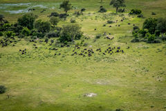 Flyg- sikt av en flock av bufflar royaltyfria bilder