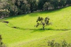 Flyg- sikt av en levande ek mycket av mistel på en äng för grönt gräs, Rancho Kanada del Oro öppet utrymmesylt, Kalifornien royaltyfri bild