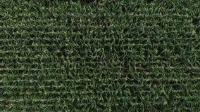 Flyg- sikt av ett f?lt f?r gr?n havre Kameran flyger från sidan över cornfielden Top besk?dar arkivfilmer