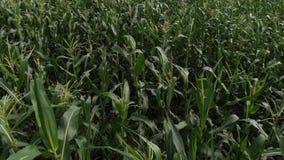 Flyg- sikt av ett f?lt f?r gr?n havre Kameran flyger lågt över cornfielden stock video