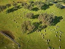 Flyg- sikt av ett gr?nt f?lt med en sj?, holmekar och en stor flock av f?r arkivfoto