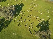 Flyg- sikt av ett gr?nt f?lt med en sj?, holmekar och en stor flock av f?r arkivbild