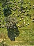 Flyg- sikt av ett gr?nt f?lt med en sj?, holmekar och en stor flock av f?r arkivbilder