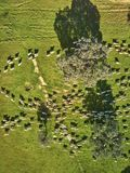 Flyg- sikt av ett gr?nt f?lt med en sj?, holmekar och en stor flock av f?r royaltyfri fotografi