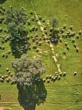 Flyg- sikt av ett gr?nt f?lt med en sj?, holmekar och en stor flock av f?r fotografering för bildbyråer