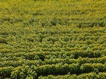 Flyg- sikt av ett stort kulört fält av mognade solrosor av gr royaltyfri bild