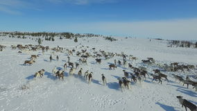 Flyg- sikt av flocken av renen, som körde på insnöad tundra