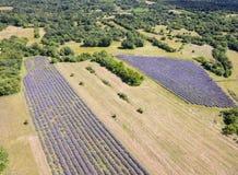 Flyg- sikt av lavendelfältet fullt ut som blommar säsong i diagonala rader arkivbild