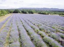Flyg- sikt av lavendelfältet fullt ut som blommar säsong i diagonala rader royaltyfri fotografi
