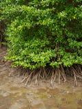 Flyg- sikt av mangroveskogen, Chanthaburi, Thailand royaltyfri foto