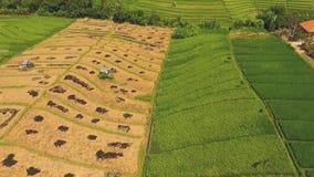 Flyg- sikt av mogen guling och nya gröna ris lager videofilmer