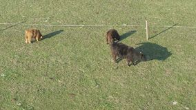 Flyg- sikt av nötkreatur, en grupp av kor som går och tuggar i stillhet gräs arkivfilmer