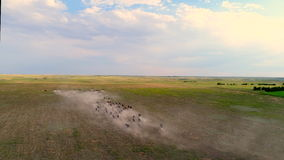 Flyg- sikt av nötkreatur som kör på torrt dammigt fält lager videofilmer