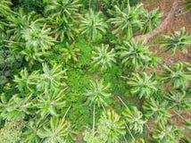 Flyg- sikt av palmträdskogen Royaltyfri Fotografi