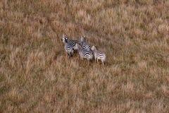 Flyg- sikt av sebror i Masai Mara, Kenya, Afrika arkivfoton