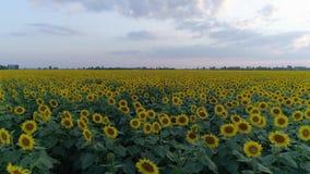Flyg- sikt av solrosfältet, flyg över gula blomningväxter på himmelbakgrund i ultrarapid lager videofilmer