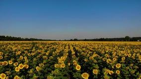 Flyg- sikt av trevliga och gula solrosor på solrosfältet, filmisk längd i fot räknat lager videofilmer
