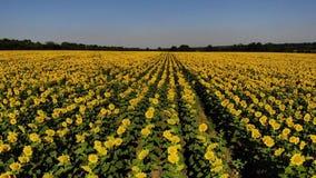 Flyg- sikt av trevliga och gula solrosor på solrosfältet, filmisk längd i fot räknat arkivfilmer
