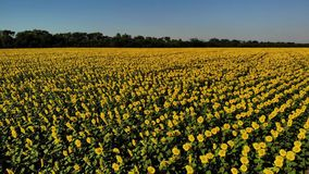 Flyg- sikt av trevliga och gula solrosor på solrosfältet, filmisk längd i fot räknat stock video