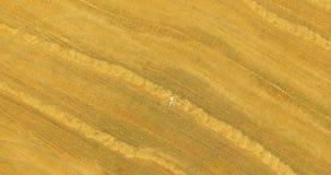 flyg- sikt Flyg för vertikal rörelse över mannen som ligger på gult vetefält stock video