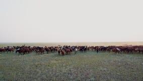 Flyg- sikt till att beta hästflocken som galopperar på stäppen på solnedgång arkivfilmer