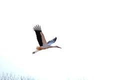 Flyg Storch Royaltyfri Fotografi