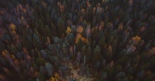 Flyg- surrsikt av sjön och skogen, ovanför träd Det ryska landskapet med sörjer och gran, aftontid i den lösa naturen 4k stock video