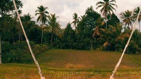 Flyg- tillbaka sikt av kvinnan på svänga över härlig risfältbakgrund stock video