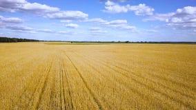 Flyga över den guld- videoen för vetefält lager videofilmer