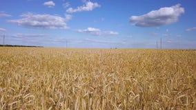 Flyga över den guld- videoen för vetefält stock video