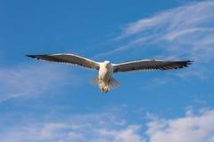 flyga över havsseagull Fotografering för Bildbyråer