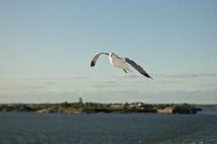 flyga över havsseagull Royaltyfria Bilder