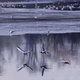 flyga över seagullsvatten Arkivbilder