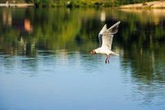 flyga över seagullvatten Royaltyfri Fotografi
