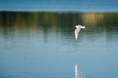 flyga över seagullvatten Arkivbild