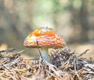 Flyga-agaric champinjon Royaltyfri Fotografi
