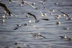 Flyga bajsar Brunt-hövdade fiskmåsar på smällen, det Samut Prakarn landskapet, Thailand Royaltyfri Bild