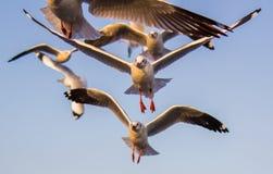 Flyga bajsar Brunt-hövdade fiskmåsar på smällen, det Samut Prakarn landskapet, Thailand Arkivfoton