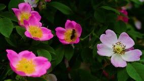 Flyga biet över blommad törnbuske stock video