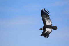 Flyga den andean kondor Arkivbilder
