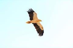 Flyga den egyptiska gammet (Neophronpercnopterus) i den islan socotraen Royaltyfria Bilder
