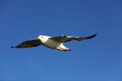 flyga den high öppna seagullen upp vingar Arkivfoto