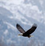 Flyga den skalliga örnen Arkivbild