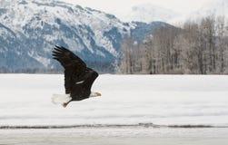 Flyga den skalliga örnen Fotografering för Bildbyråer