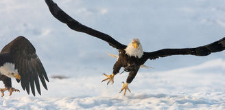 Flyga den skalliga örnen Royaltyfria Foton