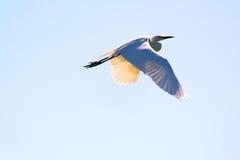 Flyga den stora ägretthägret, Ardeaalbum i himlen Royaltyfri Fotografi