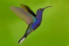 Flyga den stora blåa fågeln Violet Sabrewing med suddig grön bakgrund Kolibri i fluga Flygkolibri Handlingdjurlivplats Royaltyfri Foto